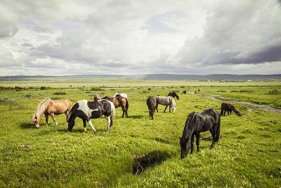 Iceland Icelandic horses on grassland PUBLICATIONxINxGERxSUIxAUTxHUNxONLY MBEF000737 Iceland, Icelandic horses on grassland PUBLICATIONxINxGERxSUIxAUTxHUNxONLY MBEF000737  Iceland Icelandic Horses ON Grassland PUBLICATIONxINxGERxSUIxAUTxHUNxONLY MBEF000737