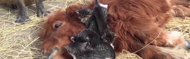Fünf Katzen schmusen mit Pferd: verstörender Kameraschwenk