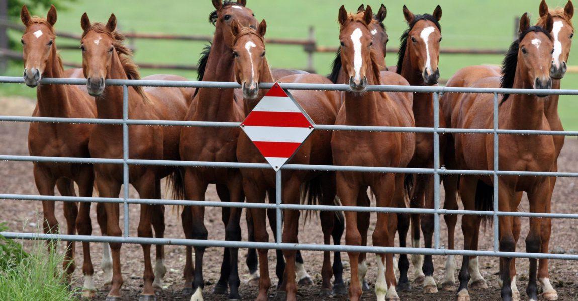 imago58722398h Bildnummer: 58722398 Datum: 18.05.2012 Copyright: imago/Frank Sorge Bildnummer: 58722398 Datum: 18.05.2012 Copyright: imago/Frank Sorge 18.05.2012, Etzean, Hessen, GER - Pferde schauen über das Tor der Koppel. Gestüt Etzean. (Pferde, Koppel, Weide, Haltung, Pferdehaltung, Pferdekoppel, artgerecht, Gestüt, Zucht, Pferdezucht, Gruppe, Vollblut, Vollblutzucht, Vollblüter, Neugier, neugierig, aufmerksam, Aufmerksamkeit, Tor, Eingang, Metalltor, Eisentor, Zaun, Gatter, Koppeltor, Weidetor, Jährlinge, Jährlinge, Gestüt Etzean) 099D180512ETZEAN.JPG Gesellschaft Fotostory Gestüt xns x0x 2012 quer Pferde Koppel Weide Haltung Pferdehaltung Pferdekoppel artgerecht Gestüt Zucht Pferdezucht Gruppe Vollblut Vollblutzucht Vollblüter Neugier neugierig aufmerksam Aufmerksamkeit Tor Eingang Metalltor Eisentor Zaun Gatter Koppeltor Weidetor Jährlinge 58722398 Date 18 05 2012 Copyright Imago Frank Worry 18 05 2012 Hesse ger Horses look above the goal the Koppel Stud Horses Koppel Pasture Attitude Horse stance Paddock artgerecht Stud Breeding Horse-breeding Group Full blood Thoroughbred breeding Thoroughbreds Curiosity curious carefully Attention goal Entrance Metalltor Iron Fence Gate Koppeltor Weidetor Yearlings Yearlings Stud JPG Society Photo Story Stud xns x0x 2012 horizontal Horses Koppel Pasture Attitude Horse stance Paddock artgerecht Stud Breeding Horse-breeding Group Full blood Thoroughbred breeding Thoroughbreds Curiosity curious carefully Attention goal Entrance Metalltor Iron Fence Gate Koppeltor Weidetor Yearlings
