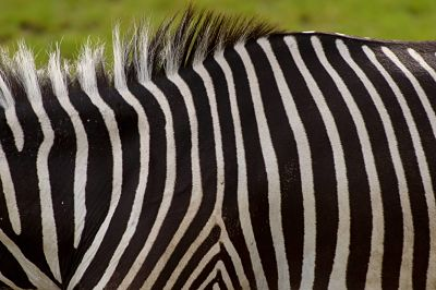 Ein Grevy Zebra Equus grevyi im Gehege im Leipziger Zoo Zoo Leipzig Ein Grevy-Zebra (Equus grevyi) im Gehege im Leipziger Zoo. Zoo Leipzig  a Grevy Zebra Equus grevyi in Enclosure in Leipzig Zoo Zoo Leipzig