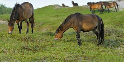 Exmoor Pony Exmoor Pony Exmoorpony Equus przewalskii f caballus grasende Pferdeherde im Schutz Exmoor Pony, Exmoor-Pony, Exmoorpony (Equus przewalskii f. caballus), grasende Pferdeherde im Schutzgebiet Bollekamer, Niederlande, Texel, Duenen von Texel Nationalpark Exmoor pony (Equus przewalskii f. caballus), grazing herd of horses in the conservation area Bollekamer, Netherlands, Texel, Duenen von Texel Nationalpark BLWS324030 Exmoor Pony, Exmoor-Pony, Exmoorpony (Equus przewalskii f. caballus), grasende Pferdeherde im Schutzgebiet Bollekamer, Niederlande, Texel, Duenen von Texel Nationalpark Exmoor pony (Equus przewalskii f. caballus), grazing herd of horses in the conservation area Bollekamer, Netherlands, Texel, Duenen von Texel Nationalpark BLWS324030  Exmoor Pony Exmoor Pony Exmoorpony Equus przewalskii F caballus Grass end Horse herd in Conservation area Bolle camera Netherlands Texel Dunes from Texel National Park Exmoor Pony Equus przewalskii F caballus grazing Stove of Horses in The Conservation Area Bolle camera Netherlands Texel Dunes from Texel National Park