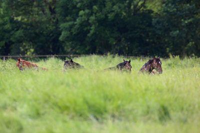Junge Warmblutpferde liegen in Sachsen auf der Koppel und dösen.
