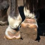 Mauke-behandeln-150x150-6c589c665fc3ad7721e7fcbc910c3e0a046ee691 Close up of horse legs hoofs
