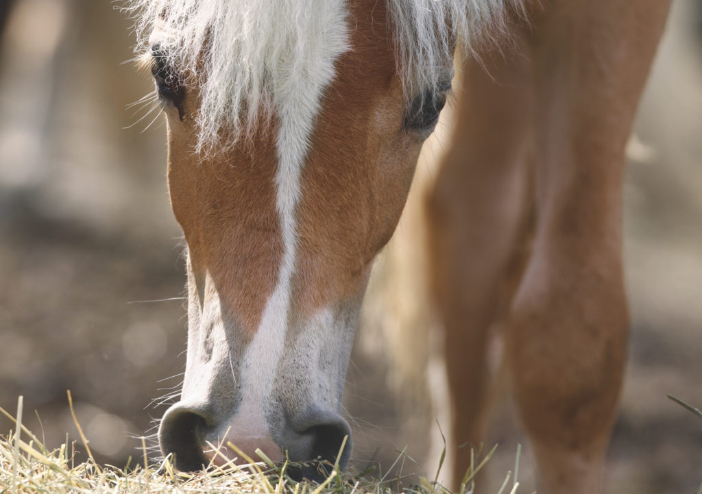 Magengeschwüre beim Pferd