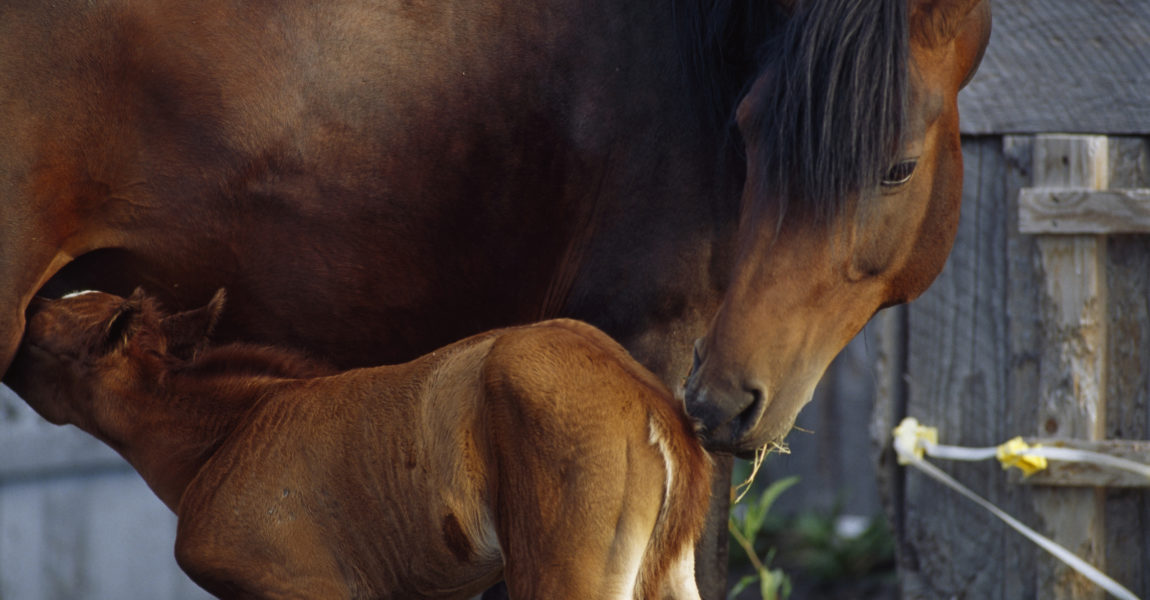 Seward, Alaska. A day-old colt nurses from his mother.