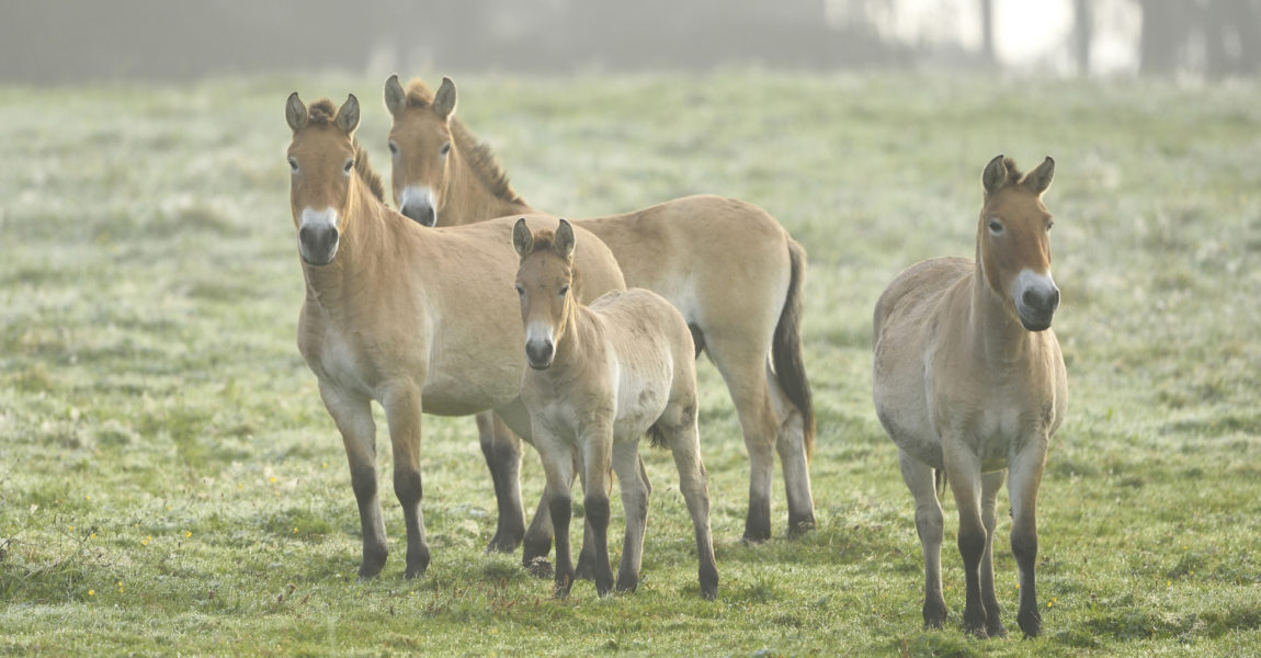 Group of Przewalskis Horses (Equus ferus przewalskii) on Meadow in Autumn, Bavarian Forest National Park, Bavaria, Germany 600-07810458 © David & Micha Sheldon Model Release: No Property Release: No Group of Przewalski's Horses (Equus ferus przewalskii) on Meadow in Autumn, Bavarian Forest National Park, Bavaria, Germany