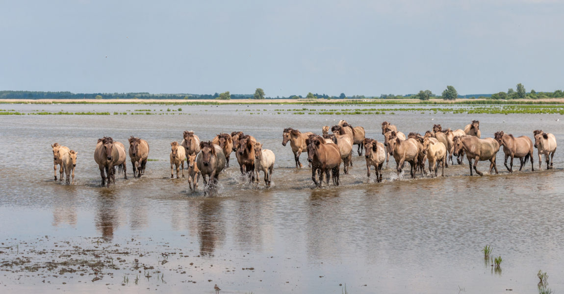 Konik horses in the water Konik horses in the Lauwersmeer lake in the North of the Netherlands on a hot summer day. They are primitive small horses, originating in Poland.