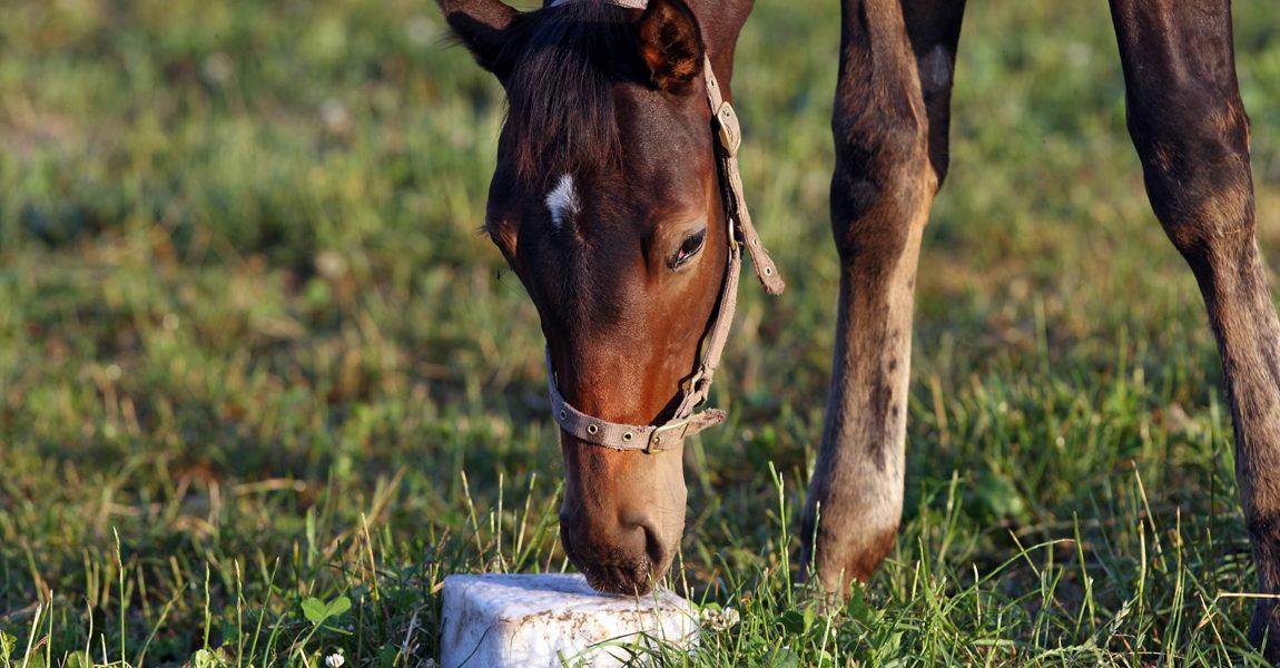 29 06 2010 Goerlsdorf Brandenburg DEU Fohlen knabbert an einem Salzleckstein Pferd Weide Ko 29.06.2010, Goerlsdorf, Brandenburg, DEU - Fohlen knabbert an einem Salzleckstein. (Pferd, Weide, Koppel, Fohlen, Haltung, Pferdehaltung, Pferdekoppel, lecken, Salzmangel, Mangel, Naehrstoffmangel, ablecken, Salzleckstein, Gest¸t, Gest¸t Gˆrlsdorf) 244D290610GESTUET.JPG GALOPP  29 06 2010 Goerlsdorf Brandenburg DEU Foals nibbles to a Salt lick block Horse Pasture Koppel Foals Attitude Horse stance Paddock Licking salt deficiency  Lack  Licking Salt lick block Stud Stud Gˆrlsdorf  JPG Gallop