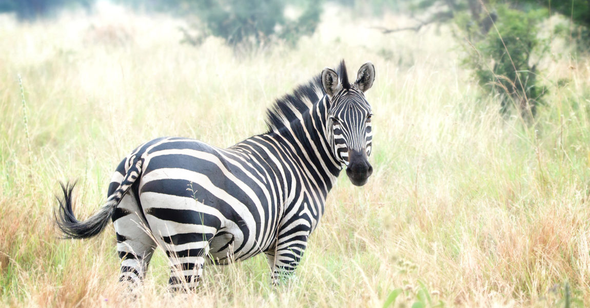 Beautiful Zebra Looking Back at Camera Portrait of a beautiful zebra as she looks back at the camera in the Tarangire National Park in Tanzania, Africa