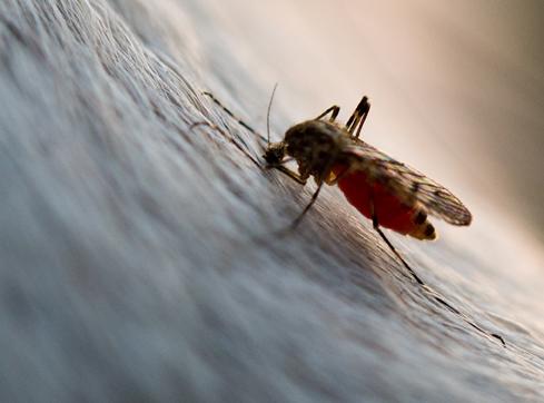 Mücke Eine bereits mit Blut vollgesaugte Mücke ist am 10.03.2014 ist auf dem Fell eines Pferdes in Sieversdorf (Brandenburg) zu sehen. Foto: Patrick Pleul | Verwendung weltweit
