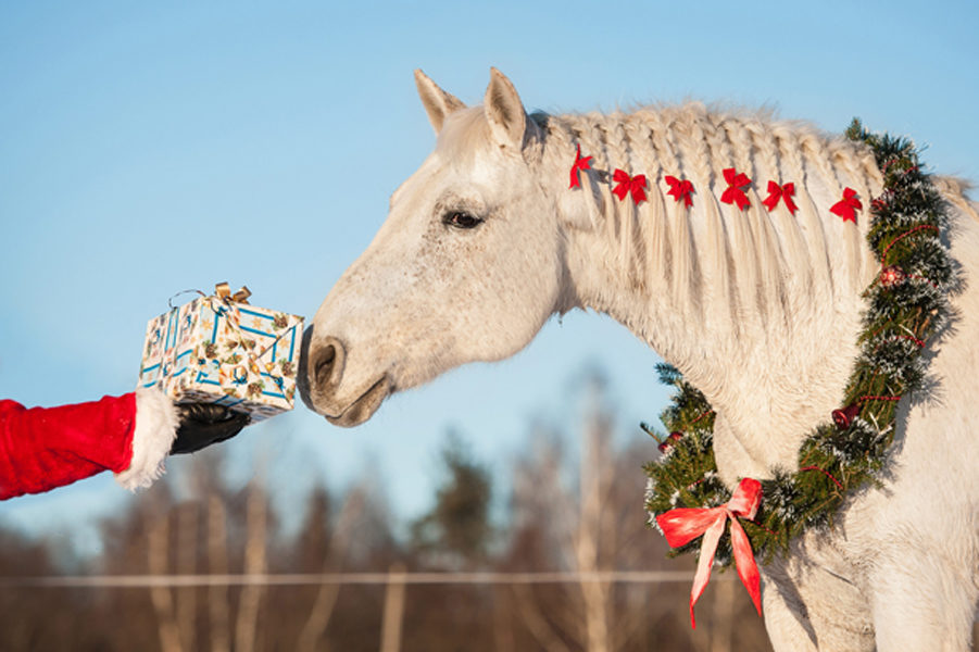 White horse with christmas wreath taking a gift from santa's han