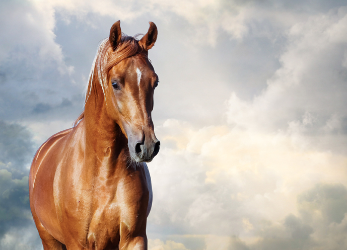 chestnut arabian horse portrait chestnut arabian horse portrait against the cloudy skies