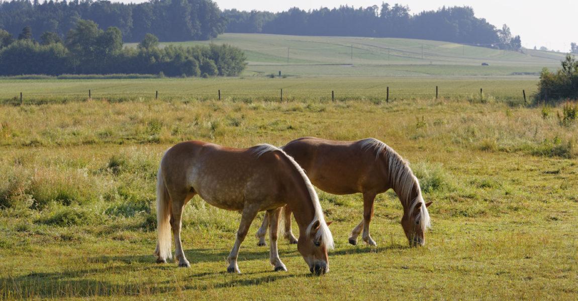 Germany, Bavaria, horses on paddock near Rins Pferde auf Weide bei Rins, Gemeinde Söchtenau, Chiemgau, Alpenvorland, Oberbayern, Bayern, Deutschland