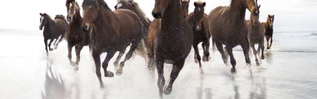 Brown Horses running on a beach Brown Horses running on a beach