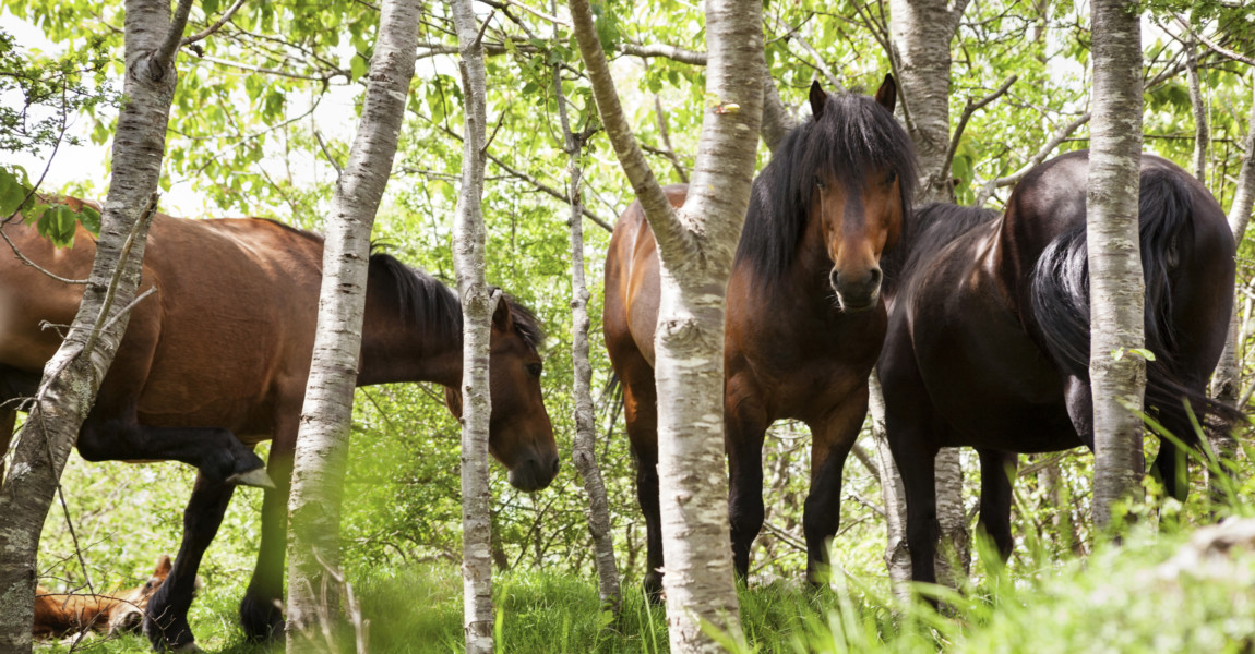 Horses in forest Italy, Liguria