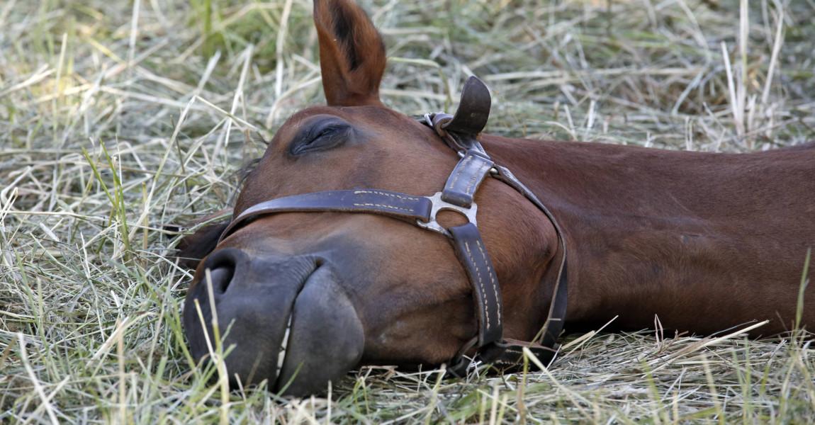 26 05 2018 Graditz Sachsen GER Pferd liegt im Gras auf der Seite und schlaeft Gestuet Graditz 26.05.2018, Graditz, Sachsen, GER - Pferd liegt im Gras auf der Seite und schlaeft. Gestuet Graditz. (Pferd, Haltung, Pferdehaltung, Gras, Weide, Koppel, liegen, liegt, ruhen, ausruhen, muede, Schlaf, schlafen, schlaeft, Muedigkeit, schlafend, Tiefschlaf, auf der Seite, Warmblut, Warmblueter, Jahreszeit, Fruehling, Fruehjahr, erschoepft, Erschoepfung, Schlafbeduerfnis, Anschnitt, Traum, Traumschlaf, traeumen, Zaehne, Z‰hne, tr‰umen, Fr¸hling, Fr¸hjahr, Schlafbed¸rfnis, erschˆpft, Erschˆpfung, m¸de, M¸digkeit) 180526D027GRADITZ.JPG *** 26 05 2018 Graditz Saxony GER Horse lying in the grass on the side and sleeps Gestuet Graditz Horse Stance Horse keeping Grass Pasture Paddock Lying Lying Resting Resting Sleep Sleeping Sleep Fatigue Sleepy Deep sleep on the side Warmblood Warmblueter Season Spring Spring exhausted Exhaustion Sleep need Ble