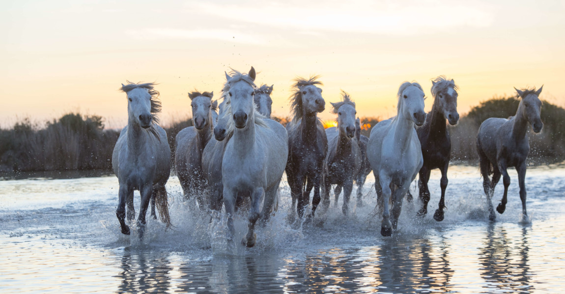 Camargue horses in a marsh of the Camargue in southern FRANCE - 2016/03/28: Camargue horses in a marsh of the Camargue in southern France running towards the camera after sunset. (Photo by Wolfgang Kaehler/LightRocket via Getty Images)