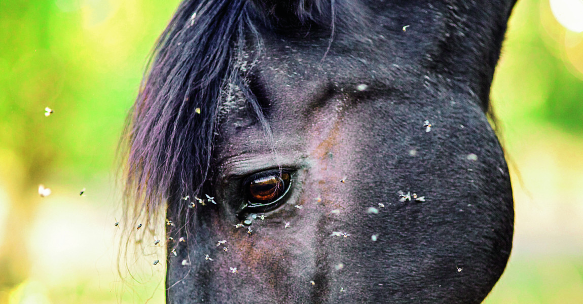 Horse with lots of fly in face Horse with lots of fly in face