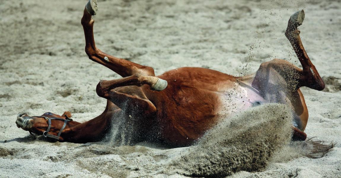 15 04 2018 Graditz Sachsen GER Pferd waelzt sich im Sand Gestuet Graditz Pferd Vollblut Vo 15.04.2018, Graditz, Sachsen, GER - Pferd waelzt sich im Sand. Gestuet Graditz. (Pferd, Vollblut, Vollblueter, Englisches Vollblut, Haltung, Pferdehaltung, Koppel, Paddock, Sandpaddock, Sand, artgerecht, waelzen, waelzt sich, Fellpflege, Wohlbefinden, Verhalten, Pferdeverhalten, Verhaltensweise, Freisteller, Sandspritzer, Kolik, w‰lzen, w‰lzt sich, Vollbl¸ter) 180415D238GRADITZ.JPG *** 15 04 2018 Graditz Sachsen GER Horse wallowing in the sand Studded Graditz Horse Thoroughbred Thoroughbred Thoroughbred Husbandry Horse keeping Paddock Paddock Sand paddock Sand Human rights Welfare Grooming Wellbeing Behavior Horse behavior Behavioral Freisteller Sandspray Colic rolling Commuter Thoroughbred 180415D238GRADITZ JPG