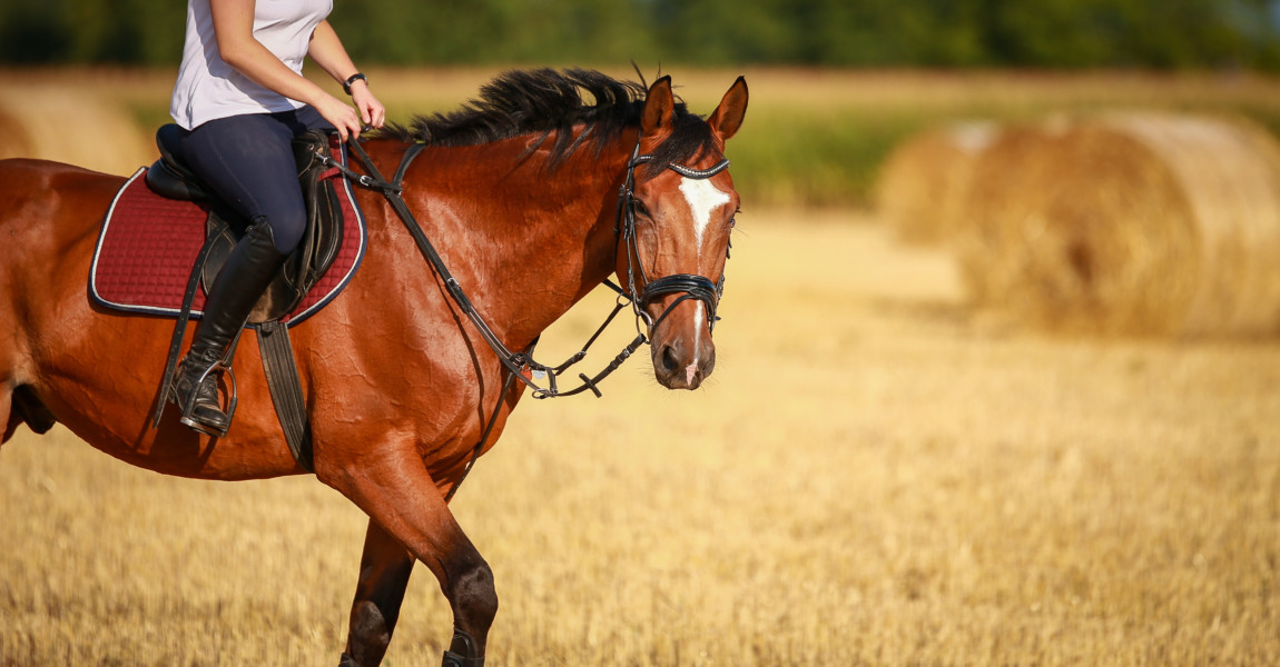 Horse in portraits with rider on a stubble field after harvest in summer.