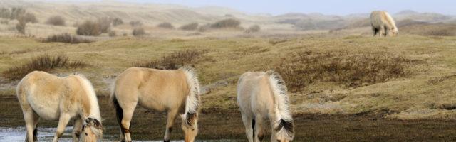 imago0058305551h Bildnummer: 58305551 Datum: 17.07.2012 Copyright: imago/blickwinkel Norwegisches Fjordpferd, Norweger, Fjordpferd, Fjordpony (Equus przewalskii f. caballus), trinken an einer Wasserstelle in den Duenen, Niederlande, Texel Fjord horse, Norwegian horse (Equus przewalskii f. caballus), standing in a lake in the dunes drinking, Netherlands, Texel BLWS304477 x0x xkg 2012 quer Querformat Europa europaeisch Westeuropa westeuropaeisch Niederlande Holland niederlaendisch hollaendisch Friesland friesisch Texel niederlaendische niederlaendisches niederlaendischer hollaendische hollaendischer hollaendisches Tier Tiere Saeugetier Saeugetiere Huftier Huftiere Unpaarhufer Pferd Pferde Pferderasse Pferderassen Rasse Rassen Rassepferd Rassepferde Wasser trinken trinkend trinkende trinkender trinkendes trinkt im Wasser stehen stehend stehende stehender stehendes steht Durst durstig durstige durstiger durstiges Gewaesser Stillgewaesser See Seen Teich Teiche Seitenansicht von der Seite seitlich Duene Duenen Sandduene Sandduenen Duenenlandschaft Duenenlandschaften Herde Herden Pferdeherde Pferdeherden Gruppe Gruppen Norwegisches Fjordpferd Norweger Fjordpferd Fjordpony Norwegische Fjordpferde Fjordpferde Fjordponys Tuempel horizontal format Europe European Western Europe Western European Netherlands Dutch animal animals mammal mammals odd-toed ungulates perissodactyls domestic horse domestic horses horse horses breed of horse horse breed breed breeds water drinking drinks in water aquatic standing stands thirst thirsty group groups lake lakes pond ponds side view lateral dune dunes sand dune sand dunes herd of horses herds of horses 58305551 Date 17 07 2012 Copyright Imago Angle Norwegian Fjord horse Norwegians Fjord horse Fjord pony Equus przewalskii F caballus drink to a Water body in the Dunes Netherlands Texel Fjord Horse Norwegian Horse Equus przewalskii F caballus thing in a Lake in The Dunes Drinking Netherlands Texel x0x xkg 2012 horizontal Landscape Europe Eisc