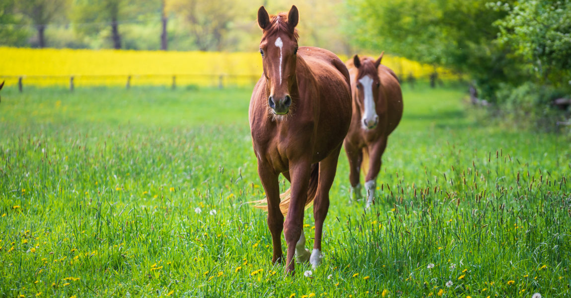Horses In Meadow Horses Grazing On Meadow