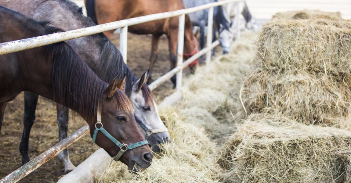 Horses eating hay at stable Beijing,China
