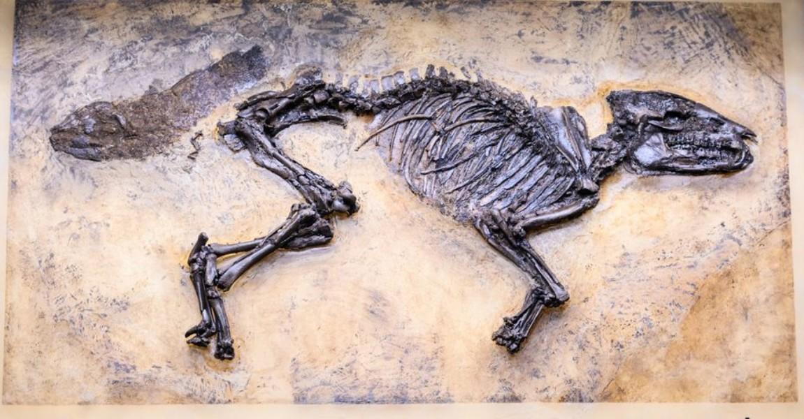 Skelett des Messeler Urpferds Das vollständig erhaltene Skelett des Urpferdes wurde im Jahr 2015 entdeckt. Foto: Andreas Arnold/dpa - ACHTUNG: Nur zur redaktionellen Verwendung im Zusammenhang mit einer Berichterstattung über (die Sendung/den Film/die Auktion/die Ausstellung/das Buch) und nur mit vollständiger Nennung des vorstehenden Credits