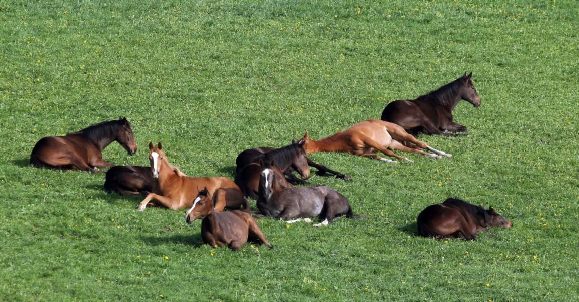 24 04 2018 Etzean Hessen GER Pferde schlafen auf der Weide Gestuet Etzean Jahreszeit Fruehl 24.04.2018, Etzean, Hessen, GER - Pferde schlafen auf der Weide. Gestuet Etzean. (Jahreszeit, Fruehling, Fruehjahr, Weide, Koppel, Haltung, Pferdehaltung, Pferde, Vollblut, Englisches Vollblut, Vollblueter, artgerecht, liegen, liegend, ausruhen, ruhen, doesen, schlafen, muede, Muedigkeit, Herde, Pferdeherde, Gruppe, dösen, müde, Müdigkeit, Frühling, Frühjahr) 180424D131ETZEAN.JPG *** 24 04 2018 Etzean Hessen GER Horses sleeping on pasture Gestuet Etzean season spring spring pasture paddock posture horse keeping horses thoroughbred English thoroughbred thoroughbred humane lying lying resting resting doesen sleeping tired tired herd horse herd group dozing tired fatigue spring spring 180424D131ETZEAN JPG