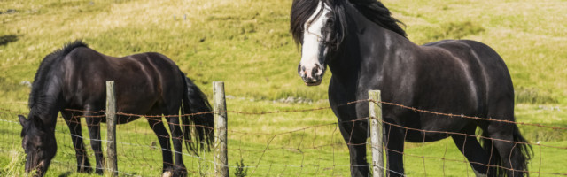 Two horses standing at a fence grazing in a field; Blanchland, Northumberland, England PUBLICATIONxINxGERxSUIxAUTxONLY C Two horses standing at a fence grazing in a field Blanchland, Northumberland, England PUBLICATIONxINxGERxSUIxAUTxONLY Copyright: MichaelxThornton 12579189
