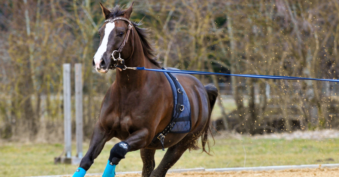 Horse Lunge Training Quarter Horse excercising with Lunge, fast Lope
