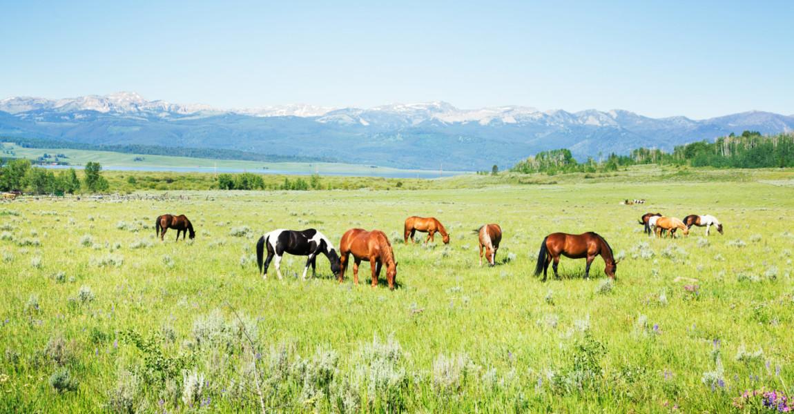 Horses grazing in Montana pastures Horses grazing in Montana pastures with the rockies in the background.