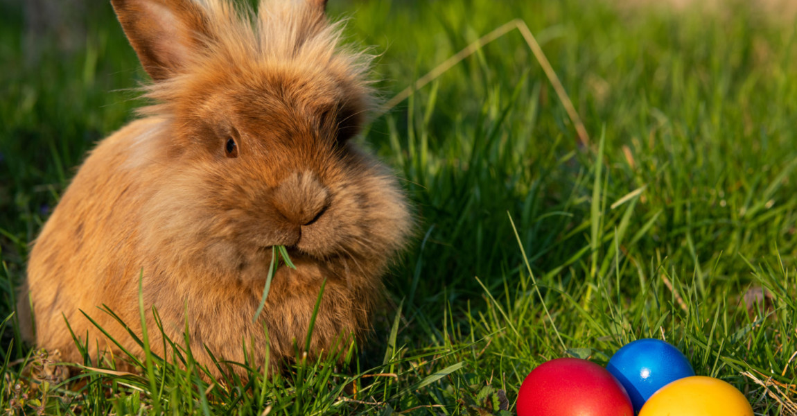 Brown dwarf rabbit and three easter eggs (red, yellow) in the meadow, sunny evening in spring Floridsdorf Austria Brown dwarf rabbit and three easter eggs red, yellow in the meadow, sunny evening in spring Floridsdorf Austria