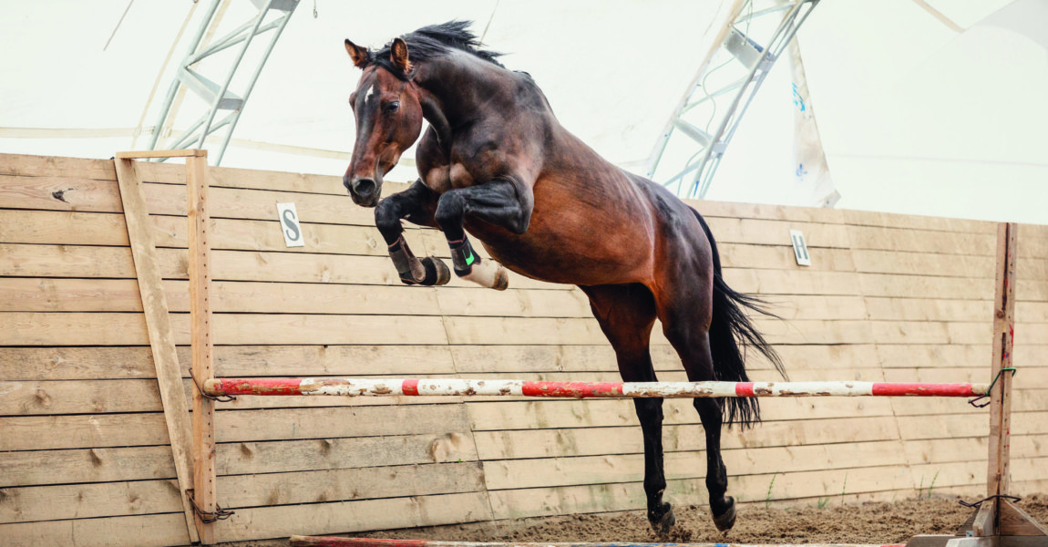 old trakehner horse jumping obstacle in summer