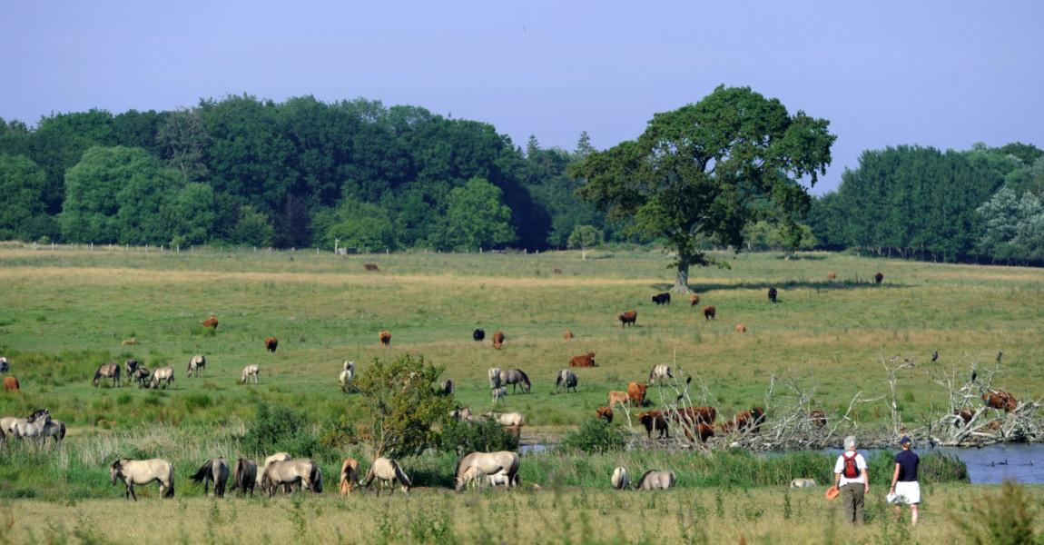 Wildpferde im Naturschutzgebiet Geltinger Birk Konik-Pferde und Rinder stehen am Mittwoch (21.07.2010) im Naturschutzgebiet Geltinger Birk (Kreis Schleswig-Flensburg) im Gegenlicht an einer Wasserstelle. Im Jahr 2002 wurde auf der Birk eine Gruppe Konik-Pferde ausgewildert, die bis heute auf den fast 500 Hektar großen Weideflächen des Naturschutzgebietes frei leben. Foto: Julian Stratenschulte dpa/lno