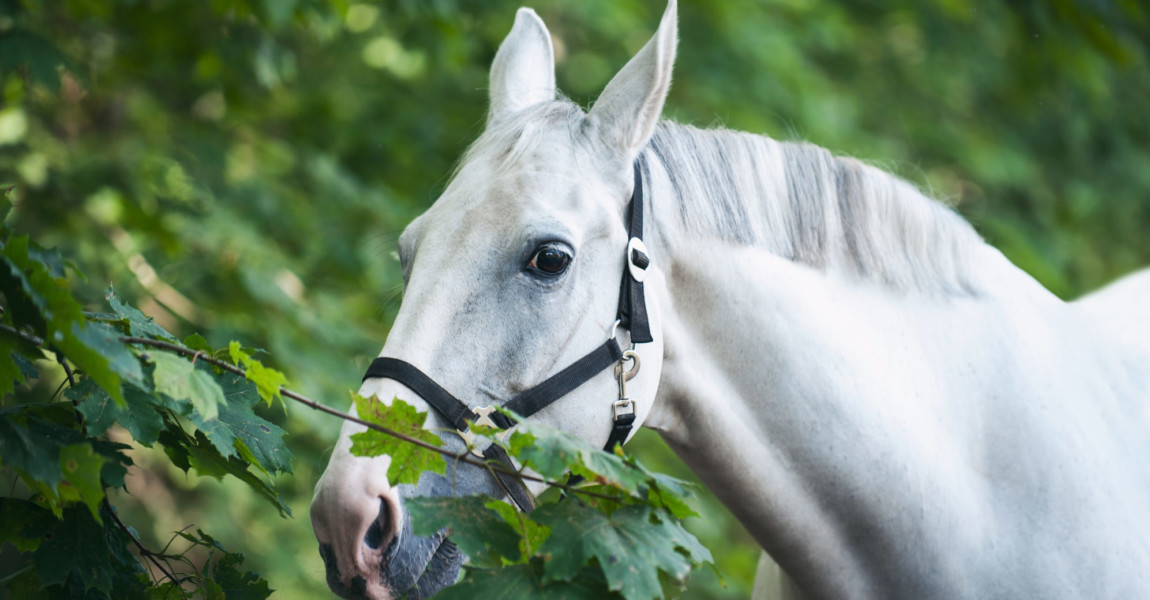 Portrait of graceful gray horse curiously reaching for green leaf Portrait of graceful thoroughbred gray horse curiously reaching to green maple leaf. Multicolored horizontal summertime outdoors image