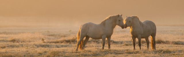 Chevaux camarguais dans une patûre gelée à l'aube et dans la brume A proximité de Noyelle, dans une pâture couverte par la première gelée de l'année, et éclairée par le soleil levant, des chevaux camargais.