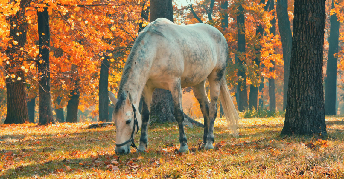 Horse grazing in the forest under trees with yellow and red leav Horse grazing in the forest under trees with yellow and red leaves, fall season theme