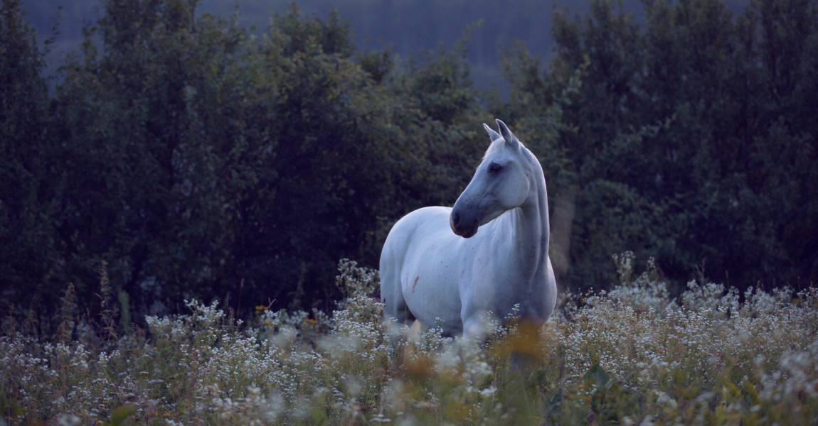 White,Horse,Pony,Standing,In,High,Grass,With,White,Camomile White horse pony standing in high grass with white camomile flowers before sunrise