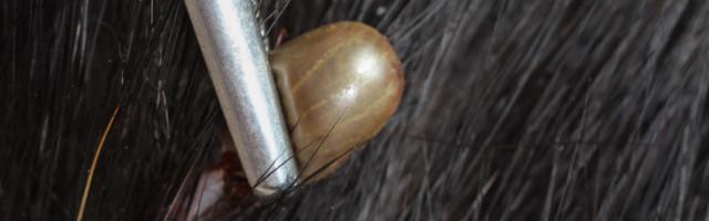 Closeup,Of,An,Adult,Tick,On,Dog,Fur closeup of an adult tick on dog fur