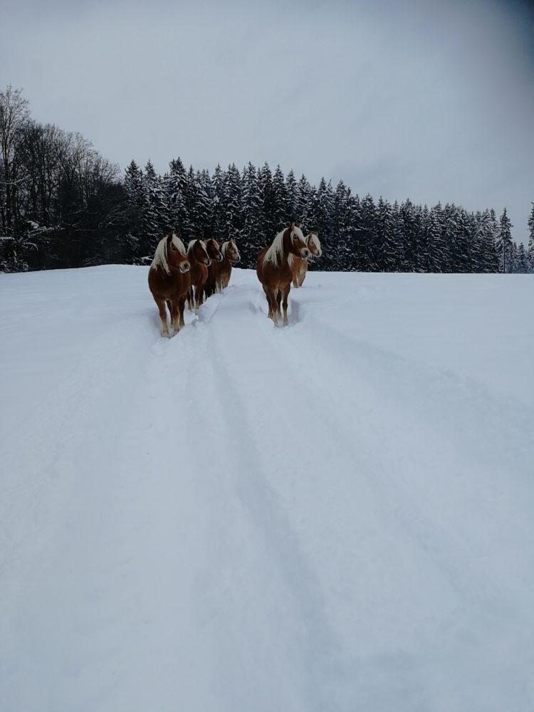 Unsere Schneepferdchen