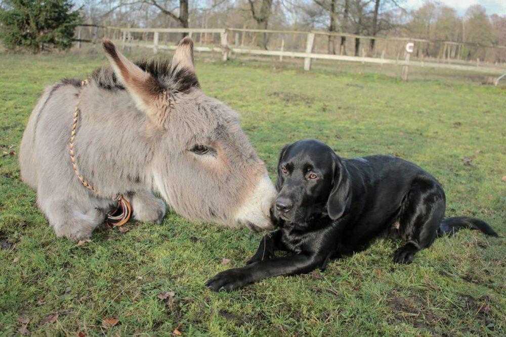 Esel Ali beim Training mit seinem besten Freund
